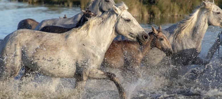 fototapeta-konie